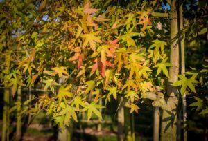 leibomen liquidambar worplesdon leivorm amberboom