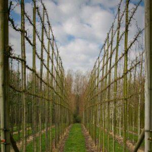 Acer Camprestre Elsrijk veldesdoorn leibomen leivorm