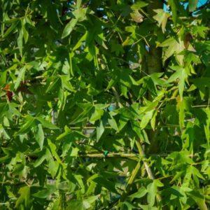 Leibomen scherm liquidambar amberboom herfstverkleuring
