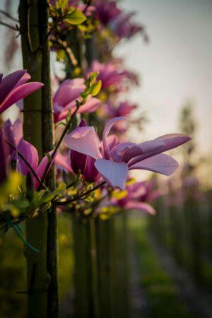 leivorm magnolia leibomen