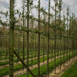 Wintergroene leibomen bladhoudend prunus caucasica laurierkers