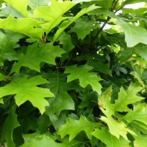 Quercus palustris leibomen leivorm moeraseik