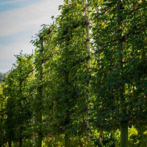 Carpinus betulus scherm leiboom haagbeuk