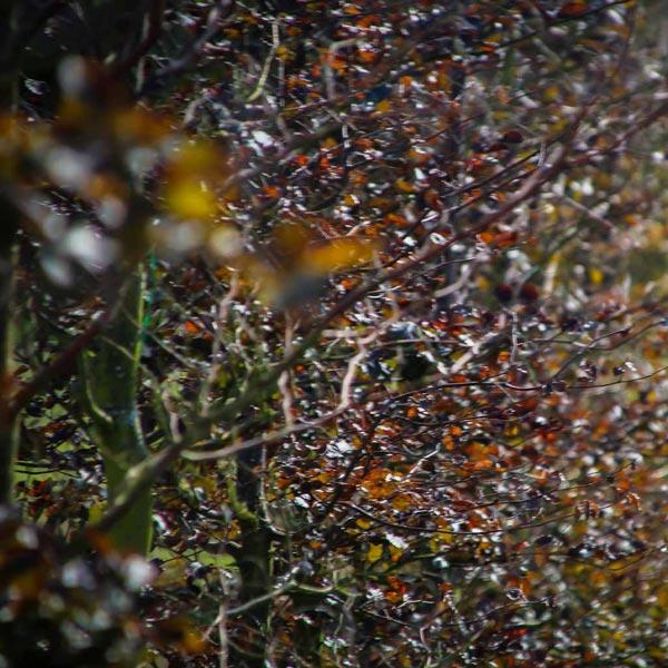 Rode beuk fagus sylvatica atropunicea leibomen leivorm privacy Trees