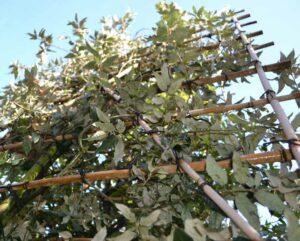 steeneik quercus ilex wintergroen leibomen leivorm privacy