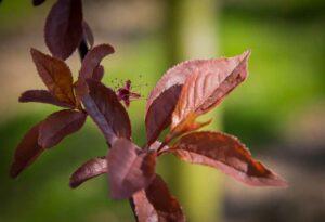 Leibomen prunus ce. nigra pruimkers