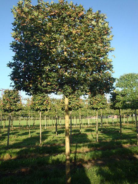 leischerm veldesdoorn acer campestre 39 elsrijk 39 privacy trees. Black Bedroom Furniture Sets. Home Design Ideas
