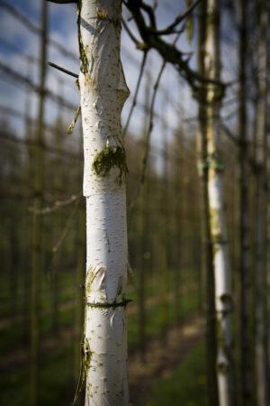 leibomen betula utilis witte himalayaberk leivorm