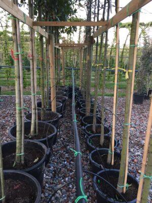 Quercus rys. maya mexicaanse eik leibomen