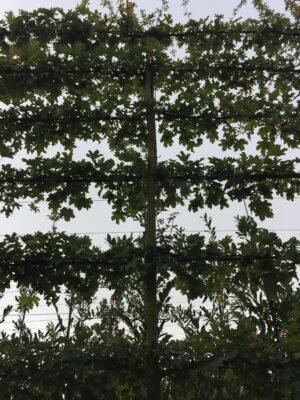 veldesdoorn leibomen
