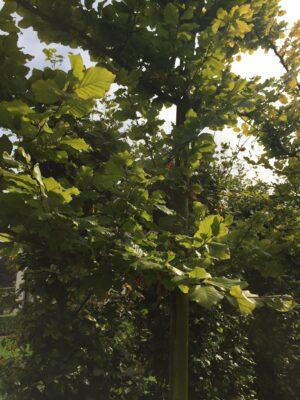 groene beuk leibomen