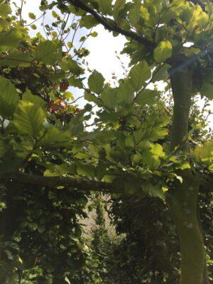 fagus sylvatica groene beuk leivorm