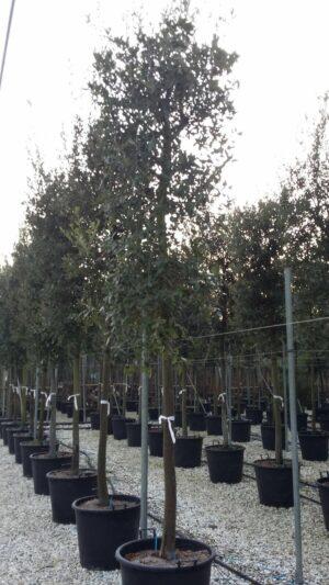 quercus steeneik privacytrees boomkwekerij zottegem