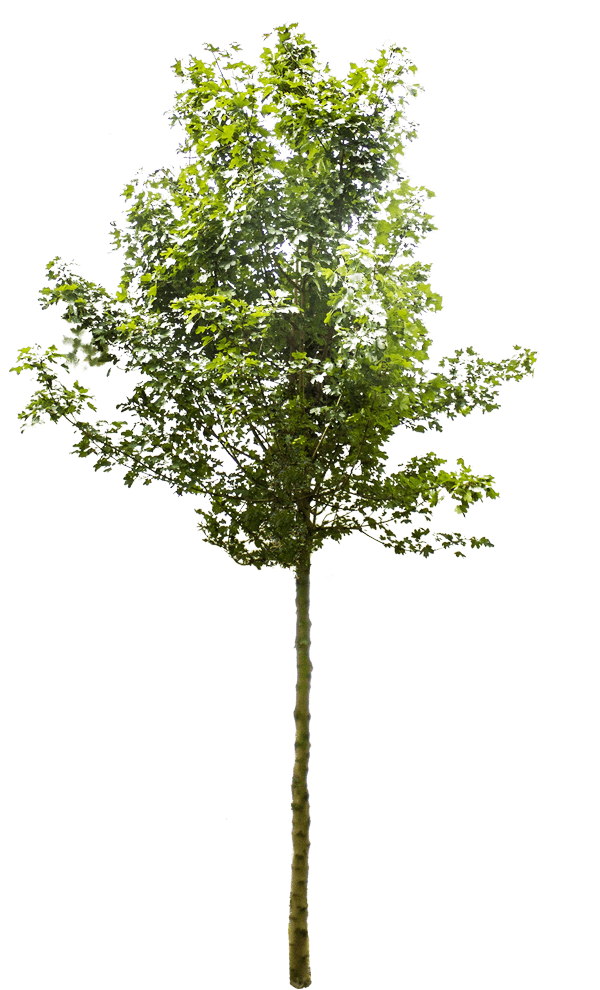Liquidambar-styraciflua-amberboom
